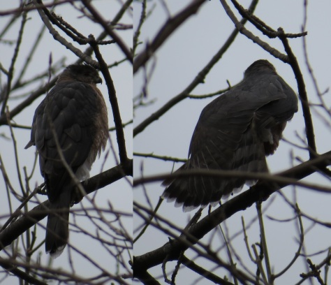 "Left: noticed ""stacked"" tail due to different lengths of outer and inner tail feathers. Right: The fanned tail of a Cooper's Hawk"