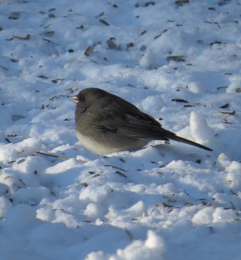 Dark-eyed Junco - a familiar winter visitor.