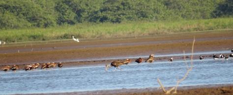 Limpkin, Black-necked Stilt, Black-bellied Whistling-Duck, and Egrets - Costa Rica 3-22-2015